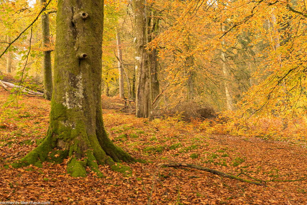 Beech trees by Caban-coch Reservoir in Autumn