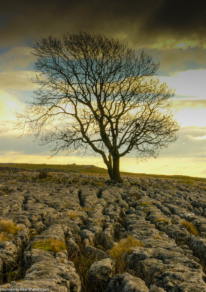 Solitary tree on limestone pavement