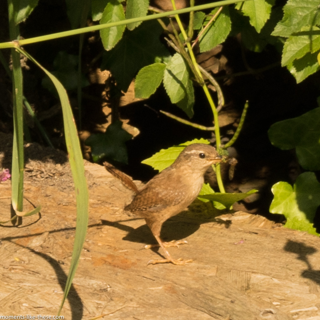 Wren by the road
